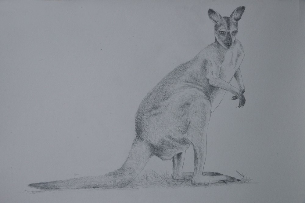 Tonal drawing of wallaby