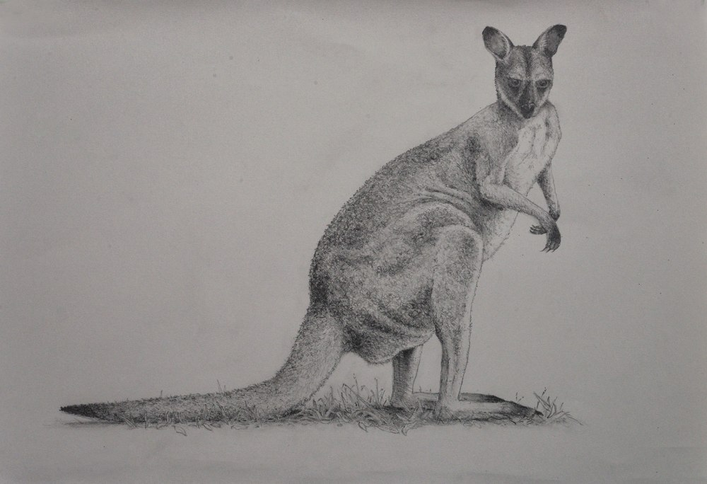 Drawing of a wallaby
